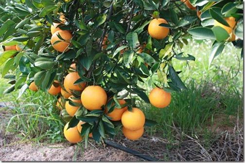 Orangen CitrusRicus